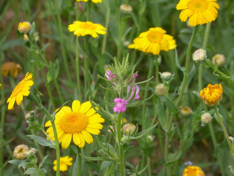 Saat-Wucherblume und Acker-Löwenmaul