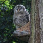 Aus dem Taunus für Bayern: Habichtskauz-Nachwuchs aus dem Opel-Zoo in Wiederansiedelungsprojekt