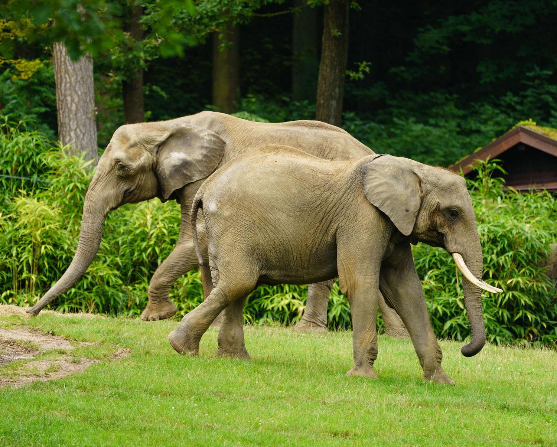 Afrikanische Elefanten