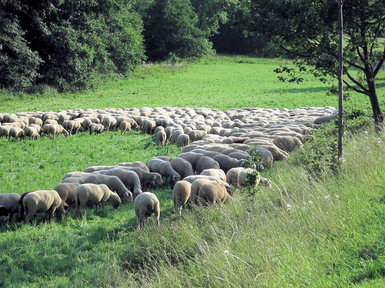 Schafe im Taunus