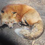 Main-Taunus-Kreis: Staupevirus bei Füchsen gefunden – auch Gefahr für Hunde