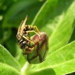So fühlen sich Insekten bei Ihnen auch im Taunus wohl – Drei Tipps vom NABU Hessen für einen insektenfreundlichen Garten